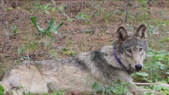 State says breeding female of wolf pack was illegally killed in Stevens County
