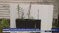 Saving salmon with city soil