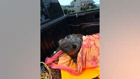 Elephant seal rescued from Whidbey Island storm drain