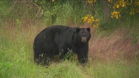 'These animals aren't going away:' Wildlife officials warn of several bear, cougar sightings