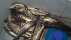 Washington state wants to pay you to catch pikeminnow