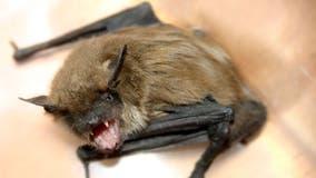 Health officials report first rabies-positive bat of 2021