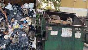 Truck driver rescues family of raccoons stuck in Bradenton dumpster