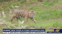Meet Raja: the new Sumatran tiger at Point Defiance Zoo