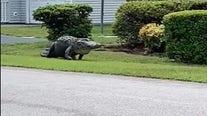 Massive alligator roams SC neighborhood