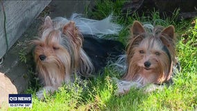 Two rare terriers from Western Washington to compete in Westminster Dog Show
