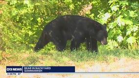 Bear in Sammamish