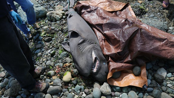 Shark washes ashore on Brainbridge Island