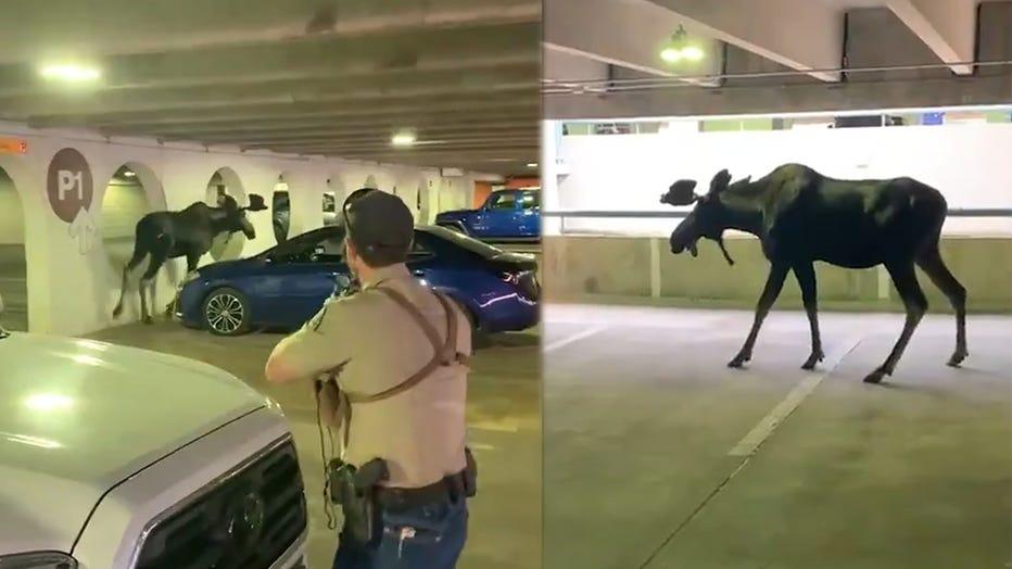 Moose in parking lot