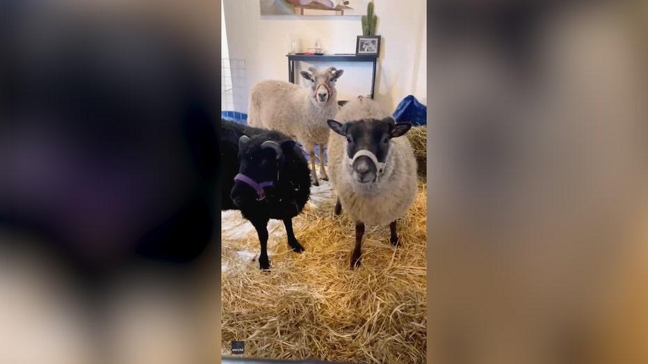 Sheep heat wave pic edit