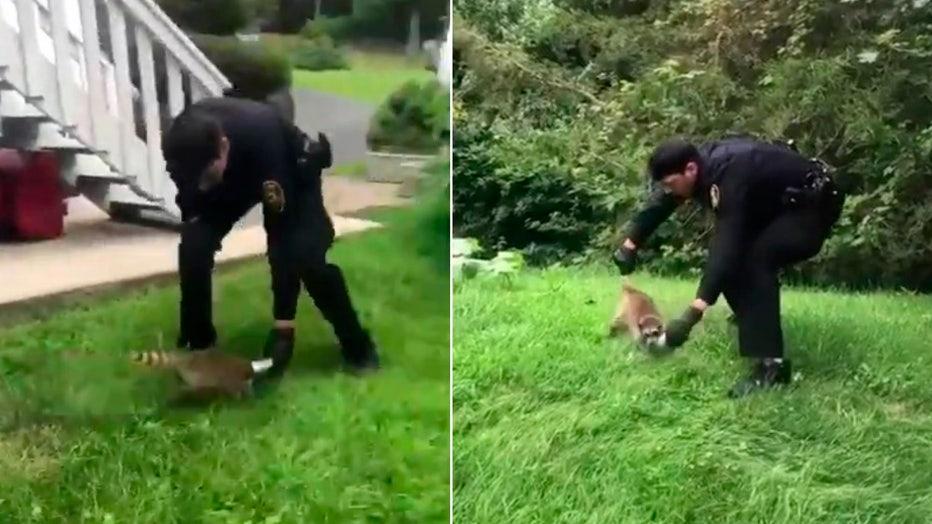 raccoon-can-rescue-split.jpg