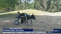 Pet of the Week: Ravioli