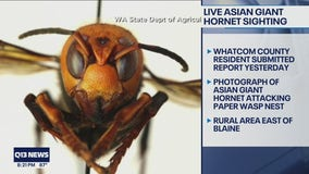 Second Asian giant hornet sighting of 2021 reported in Whatcom County