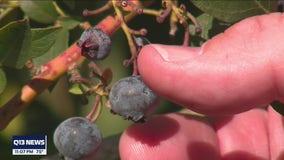 Farmers feeling the heat ahead of another heat wave in Western Washington