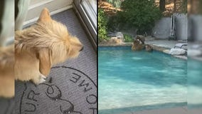 Dog excitedly rings bell after seeing bears in swimming pool