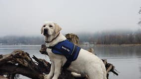 Bothell organization looking to match new service dog with veteran in need