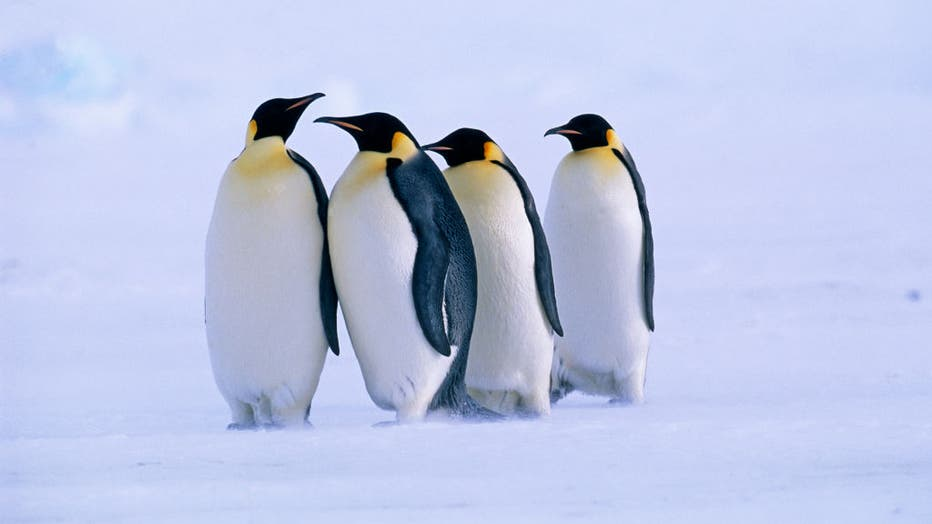 Emperor Penguins, Aptenodytes forsteri, Dawson Lambton Glacier, Weddell Sea, Antarctica