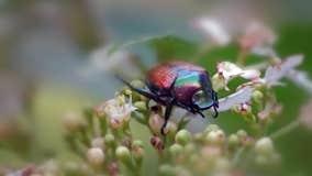 Invasive Japanese beetles threaten Yakima Valley growers