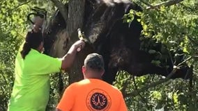 Cow gets stuck in tree in Louisiana after Hurricane Ida flooding