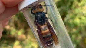 State eradicates another Asian giant hornet nest