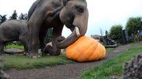 Elephants smash giant pumpkins in Oregon Zoo's 'Squishing of the Squash'