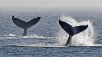 21 Salish Sea humpback whales born this season, sets record