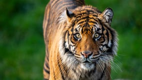 Tiger dies at Point Defiance Zoo after getting severe injuries during breeding introduction