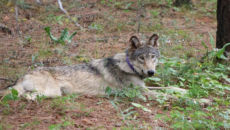 FILE---Gray-Wolf
