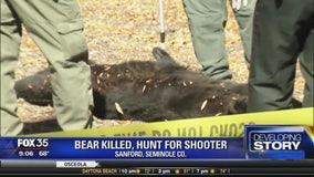 Bear killed, hunt for the shooter in Sanford