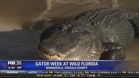 Gator Week at Wild Florida