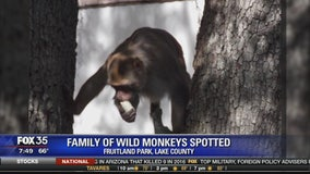 Family of wild monkeys spotted