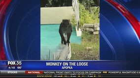 Monkey on the loose in Apopka