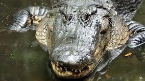 Florida dog owner pries open alligator's mouth to save beloved pet