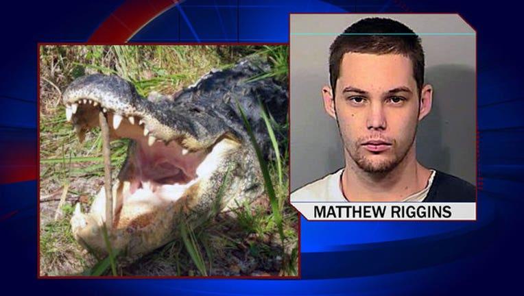 58f8ea56-matthew-riggins-alligator-drowning_1449538983354-402429.jpg