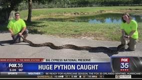 Hunters capture huge Burmese python in South Florida