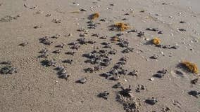 Hurricane Dorian washes out more than 8,000 sea turtle nests