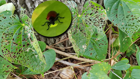 Orlando releases air potato leaf beetles to manage invasive weed