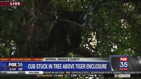 Bear cub trapped in tree over tiger enclosure