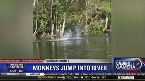 Florida kayakers encounter monkeys diving into river