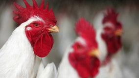 Florida woman files federal lawsuit to keep her emotional support chickens