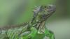 Iguana nightmare: Massive iguana population turns Florida into 'Jurassic Park'