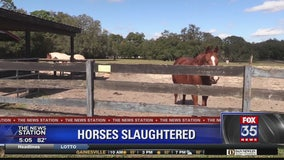 Horses reported slaughtered in Marion County