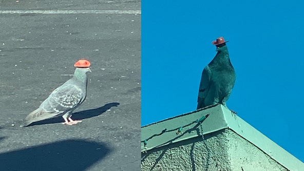 Someone is putting tiny cowboy hats on pigeons in Las Vegas as animal rescue works to remove them