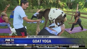 David Does It: Goat Yoga