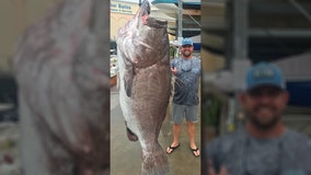 Fisherman catches 350-pound fish near southwest Florida, researchers confirm it's 'a big old fish'