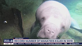 Record number of manatees killed in 2019