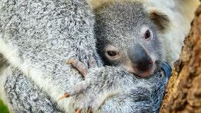 Baby koala born at Miami Zoo, named 'Hope' to show support for Australian wildlifes