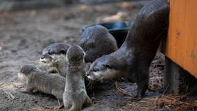 5 Asian small-clawed otter pups born at Florida zoo