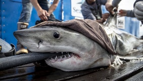 White shark over 8-feet long, 431 pounds pinged off coast of Central Florida
