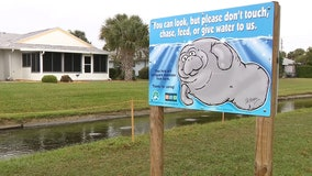 Manatees gather in canal off Desoto Parkway in Satellite Beach